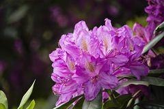 Rhododendron pourpre au printemps photographie stock