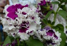 Rhododendron Primula θερινής άνοιξης αυξήθηκε φυσικό πετάλων ιώδες φύλλων χλωρίδας θερινών δέντρων πράσινο blosso ομορφιάς άνθιση Στοκ Φωτογραφίες