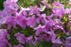 Rhododendron. Purple flower on a thin green stem with leaves Royalty Free Stock Image