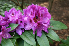 Rhododendron 'Purple Passion' Royalty Free Stock Images