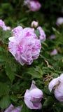 Rhododendron rayé de canne de sucrerie photographie stock libre de droits