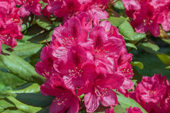 Rhododendron red flower Royalty Free Stock Photo
