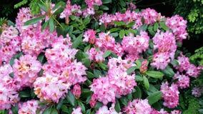 Rhododendron-Rhododendron ponticum rotes Blumen-Nahaufnahmefoto Lizenzfreie Stockfotografie