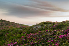 Rhododendron on a Rocky Mountainside. Just After Dawn Royalty Free Stock Images