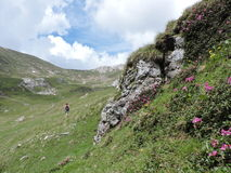 Rhododendron from Romania. Rocks and flowers on the mountains Royalty Free Stock Images