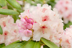 Rhododendron rose Images stock