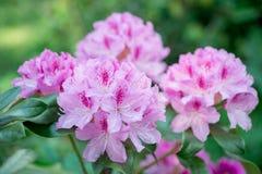 Rhododendron rose de fleur photographie stock libre de droits