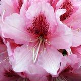Rhododendron rose de floraison Photographie stock libre de droits