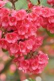 Rhododendron rouge Photos libres de droits