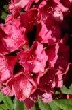 Rhododendron rouge Images libres de droits