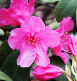 Rhododendron rouge de floraison Photo libre de droits