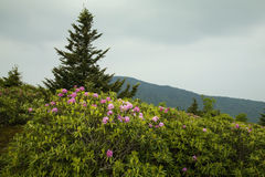 Rhododendron, Round Bald, TN-NC. Rhododendron, Round Bald, Appalachian Trail, TN-NC Stock Images