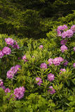 Rhododendron, Round Bald, TN-NC. Rhododendron, Round Bald, Appalachian Trail, TN-NC stock photos