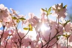 Rhododendron ` s, das während des sonnigen Tages im Mai blüht Lizenzfreie Stockfotos