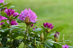 Rhododendron shrub. Rhododendrons or azaleas ornamental shrub, purple blooms in spring Royalty Free Stock Images