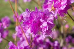 Rhododendron sichotense flower Stock Photography