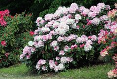 Rhododendron Silberwolke Royalty Free Stock Image