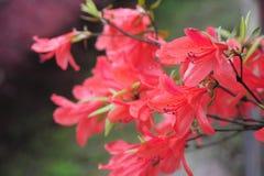 Rhododendron simsii Planch Immagini Stock