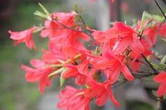 Rhododendron simsii Planch Fotografia Stock