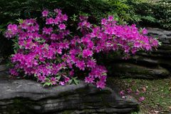 Rhododendron simsii Planch royalty free stock photos