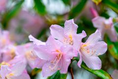 Rhododendron simsii Planch royalty free stock photo