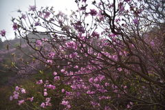 Rhododendron simsii of Qingdao Royalty Free Stock Images
