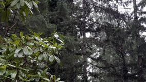 Rhododendron sits to right of screen as snow falls on forest behind. In winter stock video footage