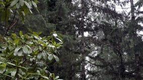 Rhododendron sitter till rätten av skärmen som snönedgångar på skog bakom lager videofilmer