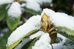 Rhododendron with snow stock photos