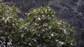 Rhododendron with snow falling around it in winter. View of snow starting to fall on rhododendron and forest behind stock video
