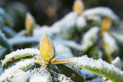 Rhododendron with snow and frost Stock Photography