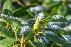 Rhododendron with snow on the leaves royalty free stock images
