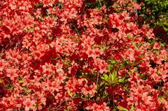 Rhododendron in spring time. Hungary stock photography