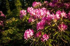 rhododendron Stor buske av rosa rhododendron i trädgård Rosa färger med vita azaleablommor arkivbild