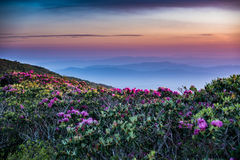 Rhododendron Stretch Out into Sunrise. With layers of blue ridge mountains behind Stock Photos