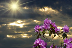Rhododendron And Sun. Rhododendron flowers in the foreground with sun and clouds in the background Stock Photo