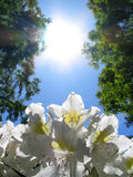 Rhododendron & Sun. White Rhododendron and Sun Royalty Free Stock Photo