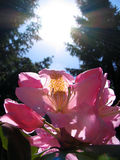 Rhododendron & Sun Royalty Free Stock Image
