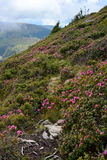 Rhododendron. Sureanu Mountains covered by rhododendron Royalty Free Stock Photography