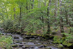 Rhododendron surround a small stream in the Smokies. Royalty Free Stock Photo