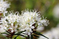 Rhododendron tomentosum (Marsh Labrador Tea) Stock Photos