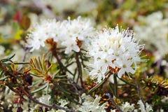 Rhododendron tomentosum (syn. Ledum palustre) Stock Photos