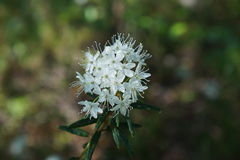 Rhododendron tomentosum. (syn. Ledum palustre), commonly known as marsh Labrador tea, northern Labrador tea or wild rosemary, is a flowering plant in the Stock Images