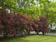 Rhododendron tree. Stock Image