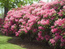 Rhododendron tree. Royalty Free Stock Images