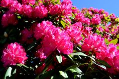 Rhododendron tree blossoming in early spring. Stock Photo