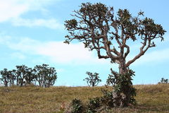Rhododendron tree Horton Plains Sri Lanka royalty free stock photography