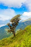 Rhododendron tree in Kew Mae Pan Nature Trail Trekking trail lea Royalty Free Stock Image