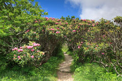 Rhododendron Tunnel Craggy Blue Ridge Parkway. At Craggy Gardens Overlook off the Blue Ridge Parkway in Western North Carolina, Catawba rhododendron create a Stock Image