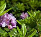 Rhododendron u. Biene Stockfotos